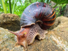 http://static3.businessinsider.com/image/520e9c66ecad047246000024-3000-2250/giant_african_land_snail.jpg