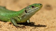 http://o.aolcdn.com/hss/storage/midas/d89f898f137d08705e13dc693e050697/201320819/green-lizard-jean-jacques-boujot-flickr.jpg